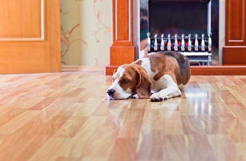 Los peligros del suelo laminado para los perros: ¿cuál es el ideal?