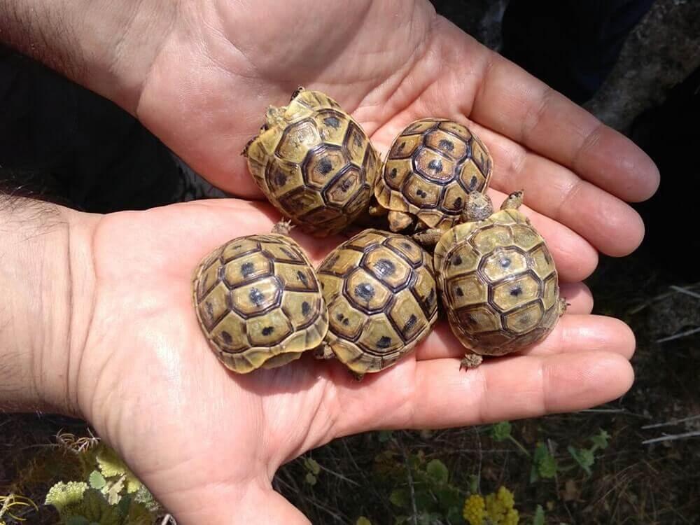 Ejemplares de tortuga mora en las manos