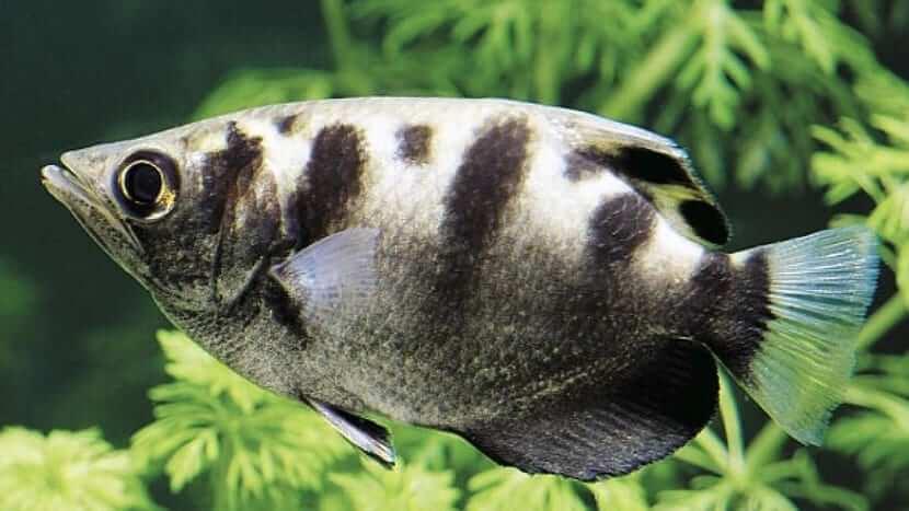 Espécimen de pez arquero.