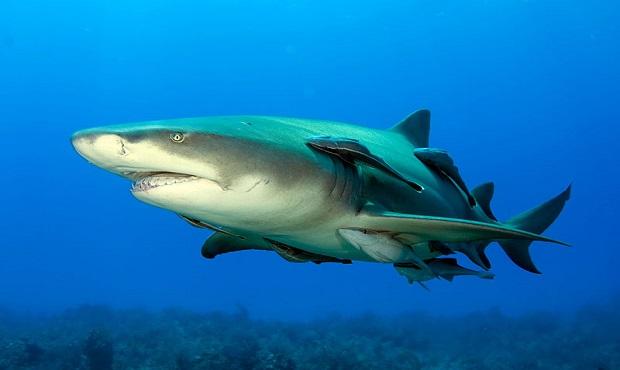 Los tiburones son curiosidades del mundo marino.