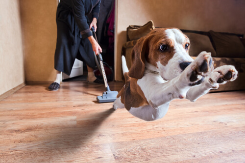 Beagle scared by the vacuum cleaner