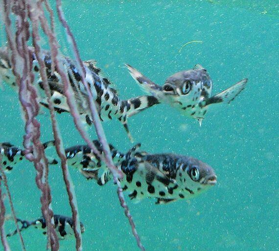 Los peces Nomeus gronovii son animales comensales.