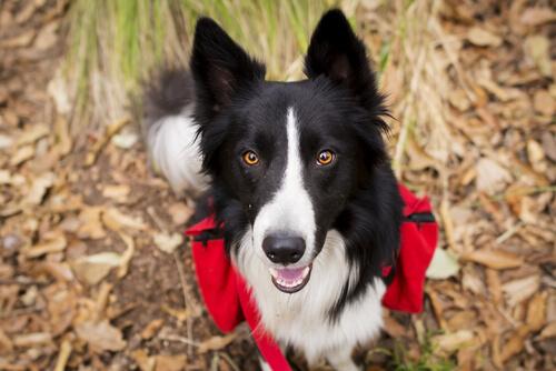 Border collie en el campo, uno de los perros aptos para senderismo
