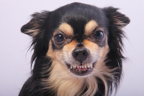 Los chihuahuas pueden ser perros agresivos.