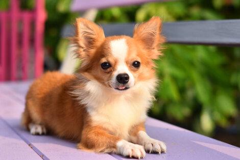 Chihuahua tumbado