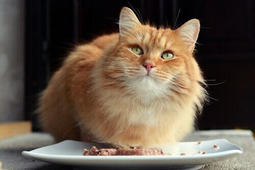 Comida para la diabetes en gatos