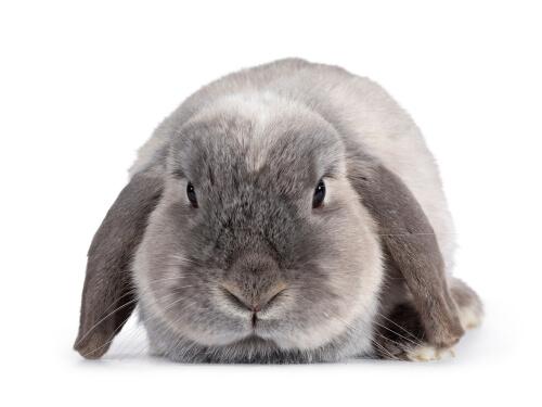 Conejo con orejas colgantes: consejos para su cuidado