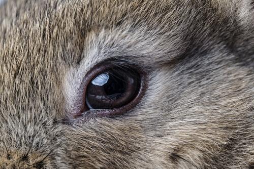 Conjuntivitis en conejos: causas y tratamientos