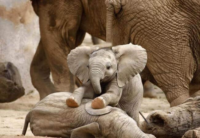 Mantenimiento de elefantes en cautividad
