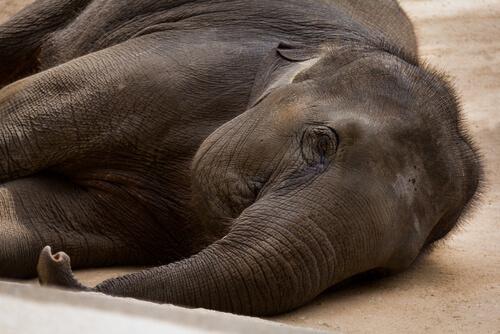 Elefante enfermo tumbado en el suelo.