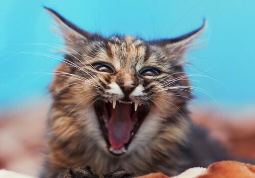 Gato agresivo