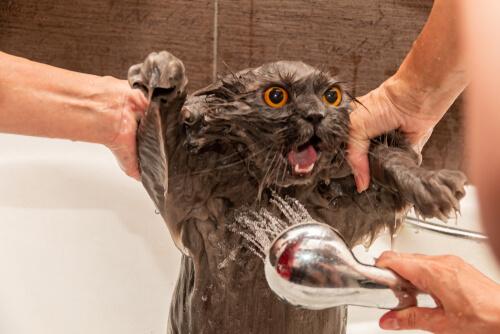 Persona bañando a su gato.