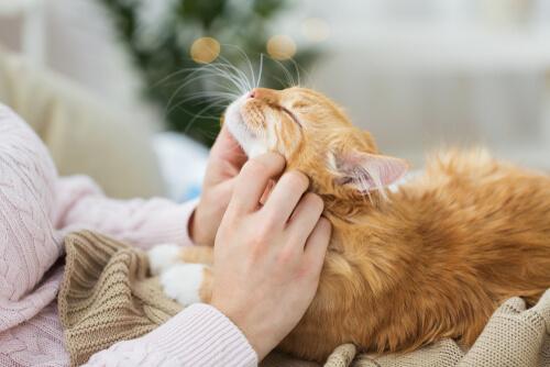 Gato disfrutando de las caricias de su dueña
