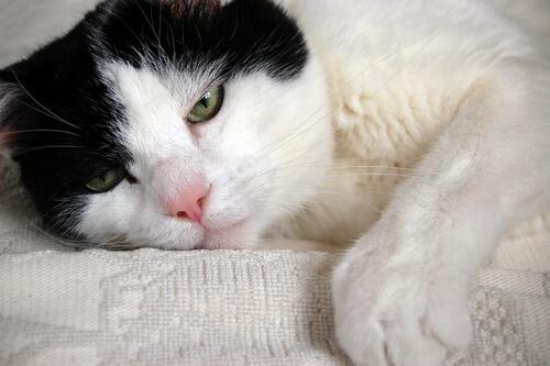 Problemas comunes de salud de los gatos mayores