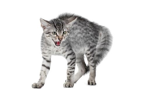 Gato muestra agresividad