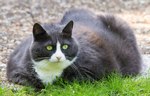 Cat with obesity due to diabetes mellitus.