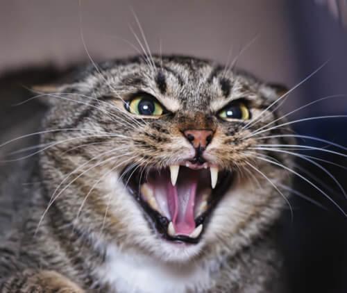 ¿Por qué los gatos se pueden volver agresivos?