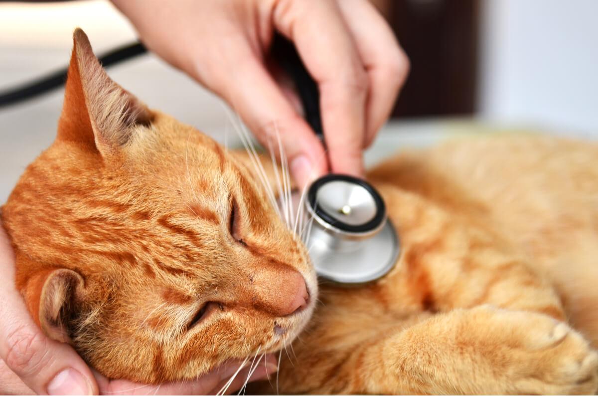 Hernia diafragmática en gatos: causas y síntomas