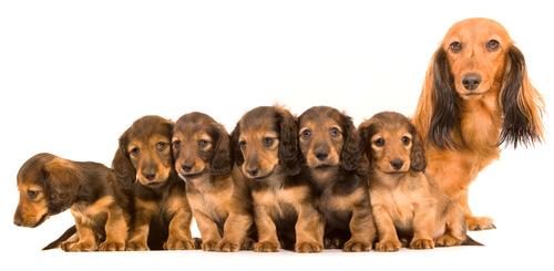 Madre con cachorros