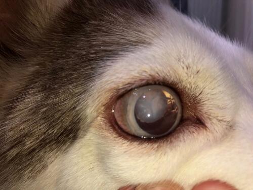 Ojo con glaucoma de un Husky Siberiano.