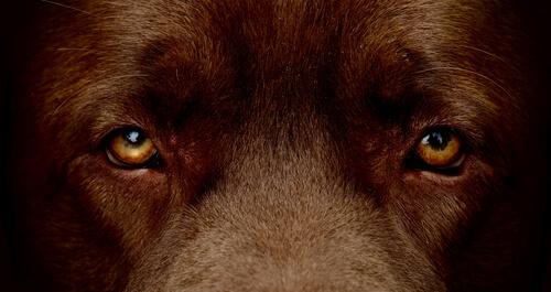 Ojos de perro color marrón.