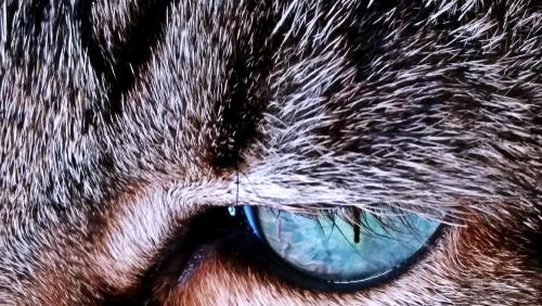 ¿Por qué el pelaje de los gatos cambia de color?