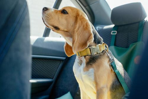 Beagle viajando atado en un coche.