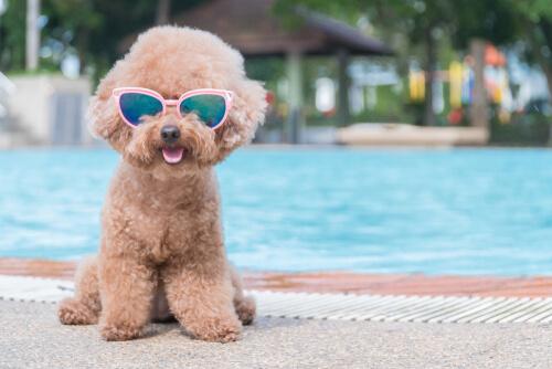 Perro con gafas de sol en la piscina