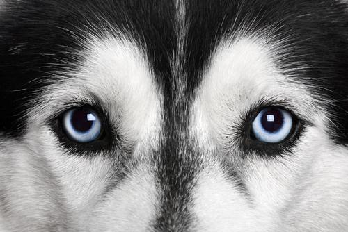 Ojos de un Husky Siberiano