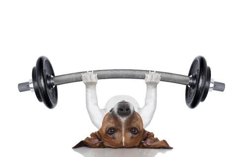 Perro levantando peso