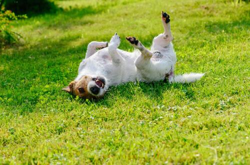 Un perro se frota la cabeza y el hocico con la hierba.