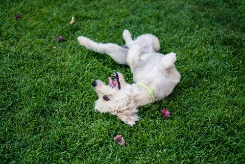 Perro rueda en la hierba