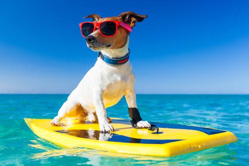 Perro sobre una tabla de surf