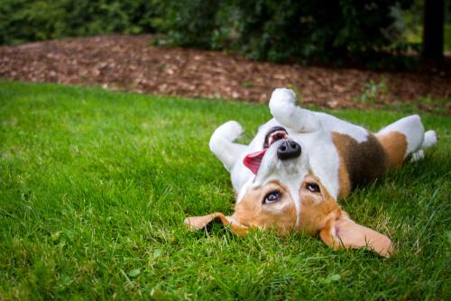A los perros les encanta rodar en la hierba