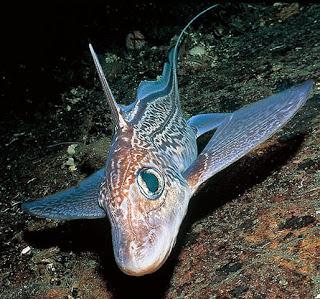 Peces extraños: la quimera de las profundidades