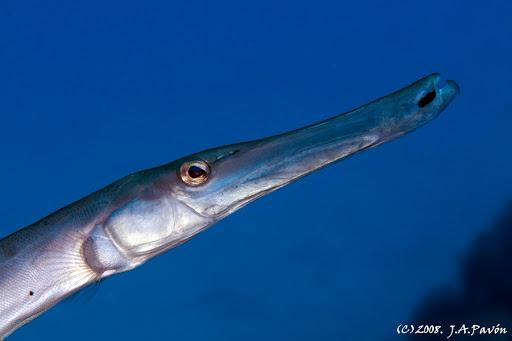 El pez trompeta es una de las curiosidades del mundo marino.