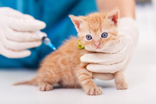 Vacunando gato en el veterinario