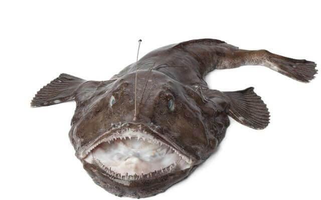 El pez rape y su anzuelo.