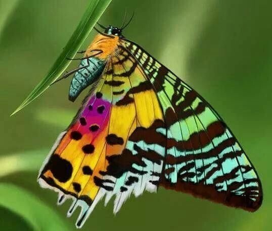 La Chrisridia ripheus es la mariposa más colorida del mundo.