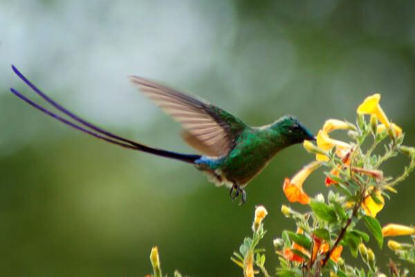 Colibrí coludo de Caripe, un colibrí de Venezuela.