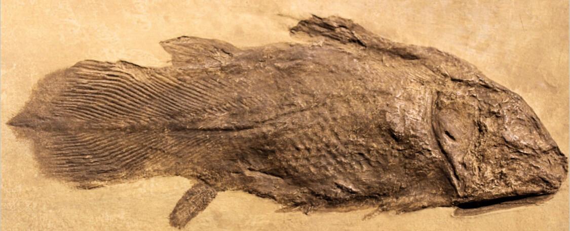 El celacanto, un fósil viviente.