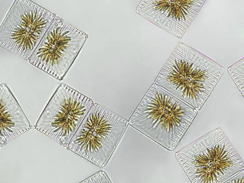 Alga Striatella unipunctata bajo el microscopio.