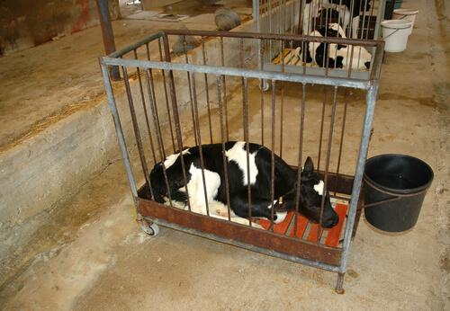 Becerro encerrado en una jaula.