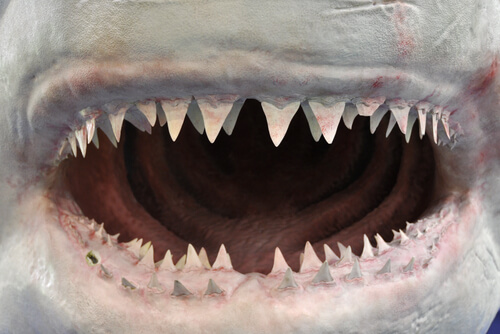 Snout and shark teeth close up.
