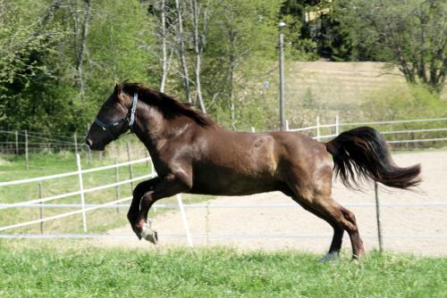 Curiosidades acerca del caballo de Finlandia (Finnhorse)