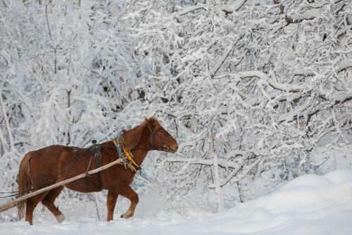El caballo de Finlandia es muy valorado.