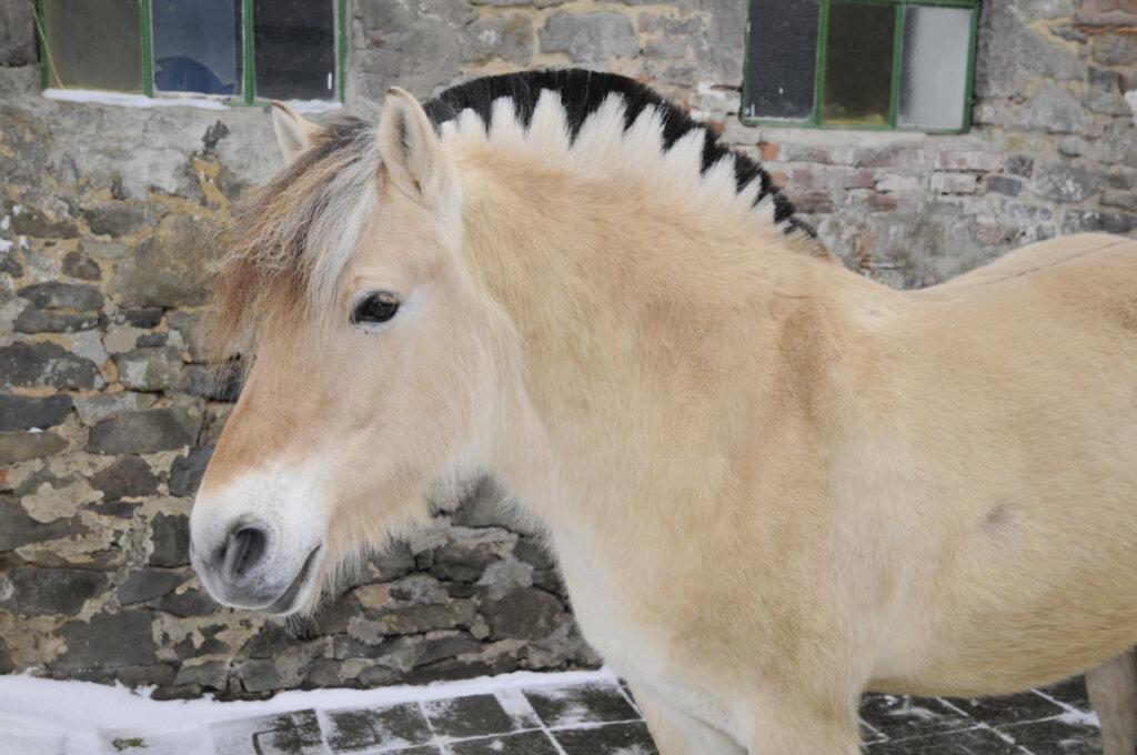 El caballo fiordo: un pequeño titán