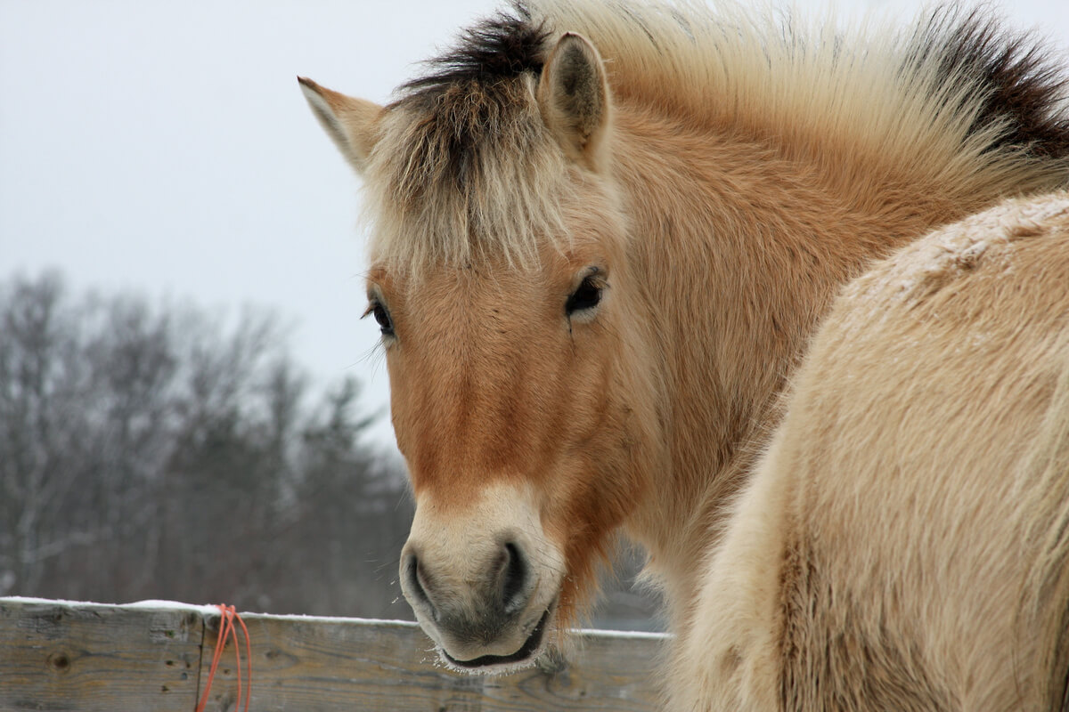 Cara de un caballo fiordo.