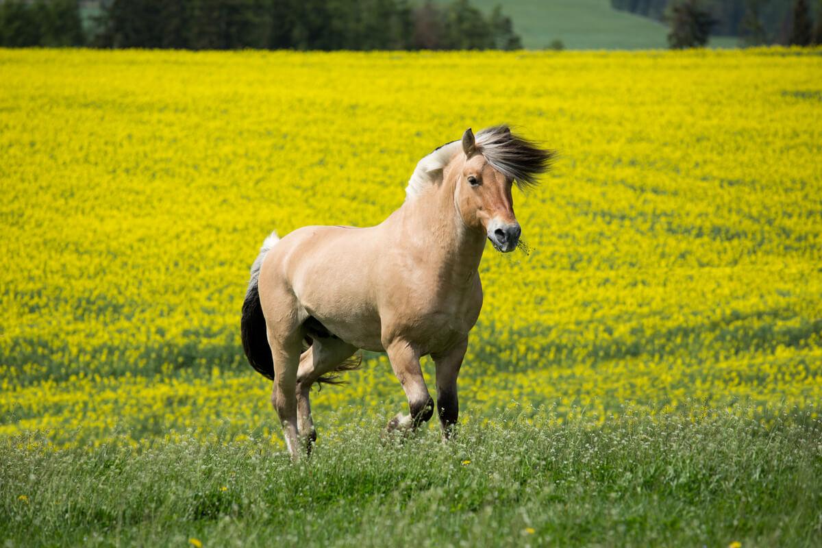 Un caballo fiordo sobre un campo de flores.