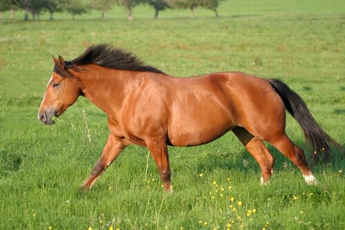 La época dorada del caballo Franches-Montagnes